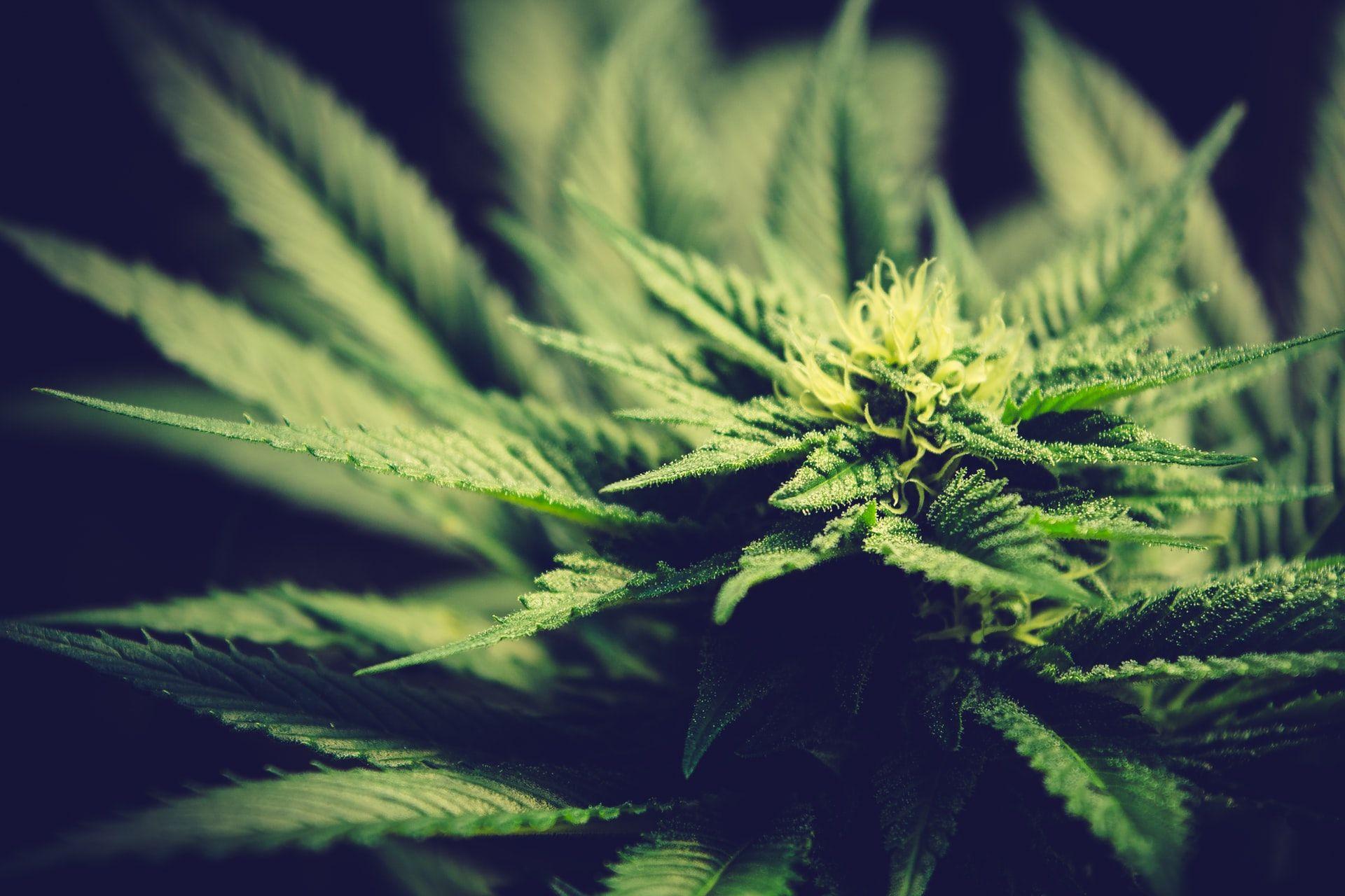 Cannabis, fusione Tilray-Aphria segnala consolidamento di settore